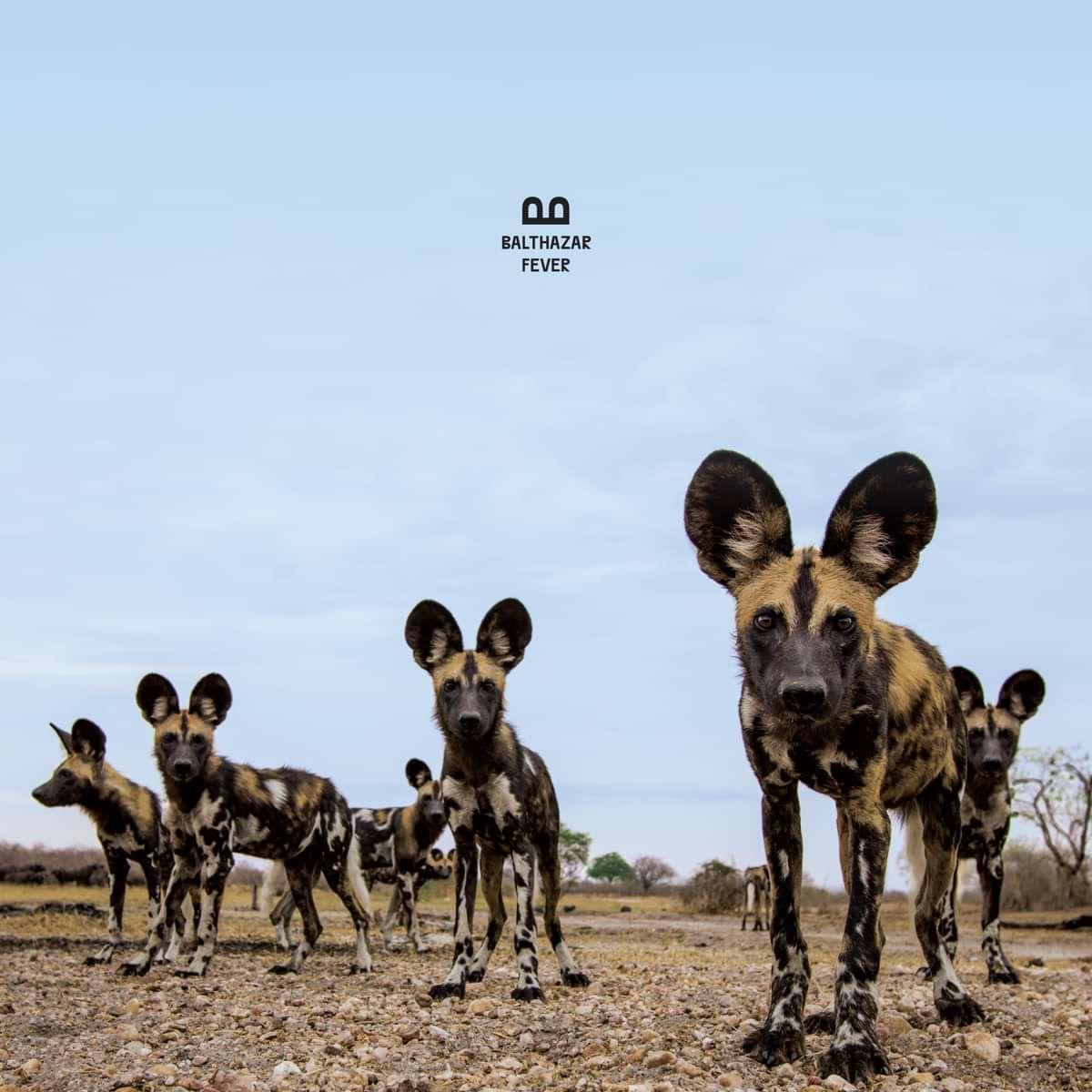 Fever (LP) - Balthazar